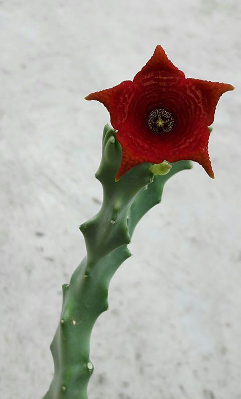 Caralluma socotrana  5 seeds