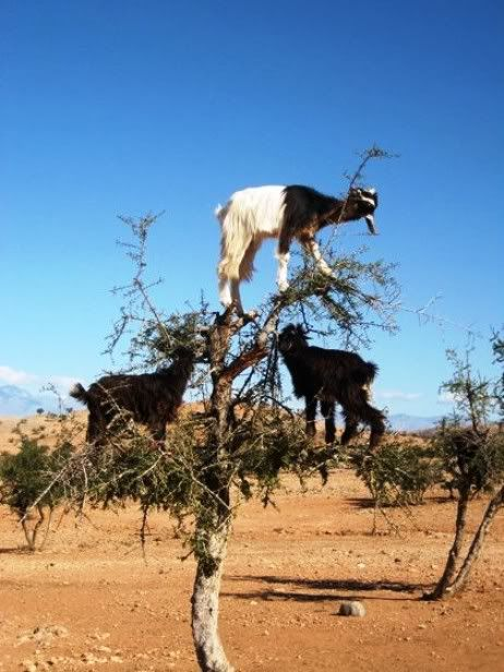 Tree Climbing Goats In Morroco?