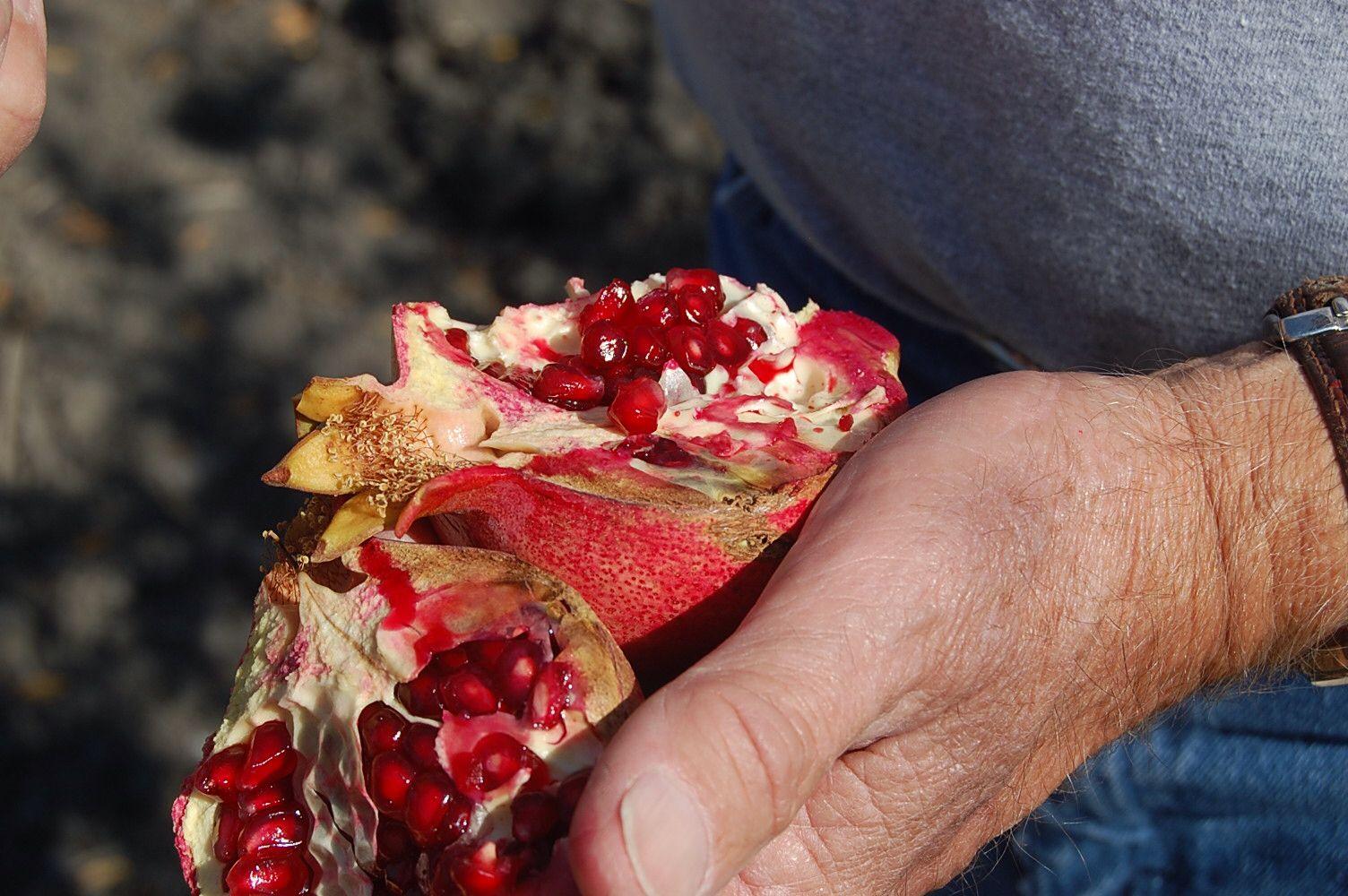 Farmers hands. Pomegranates in California.