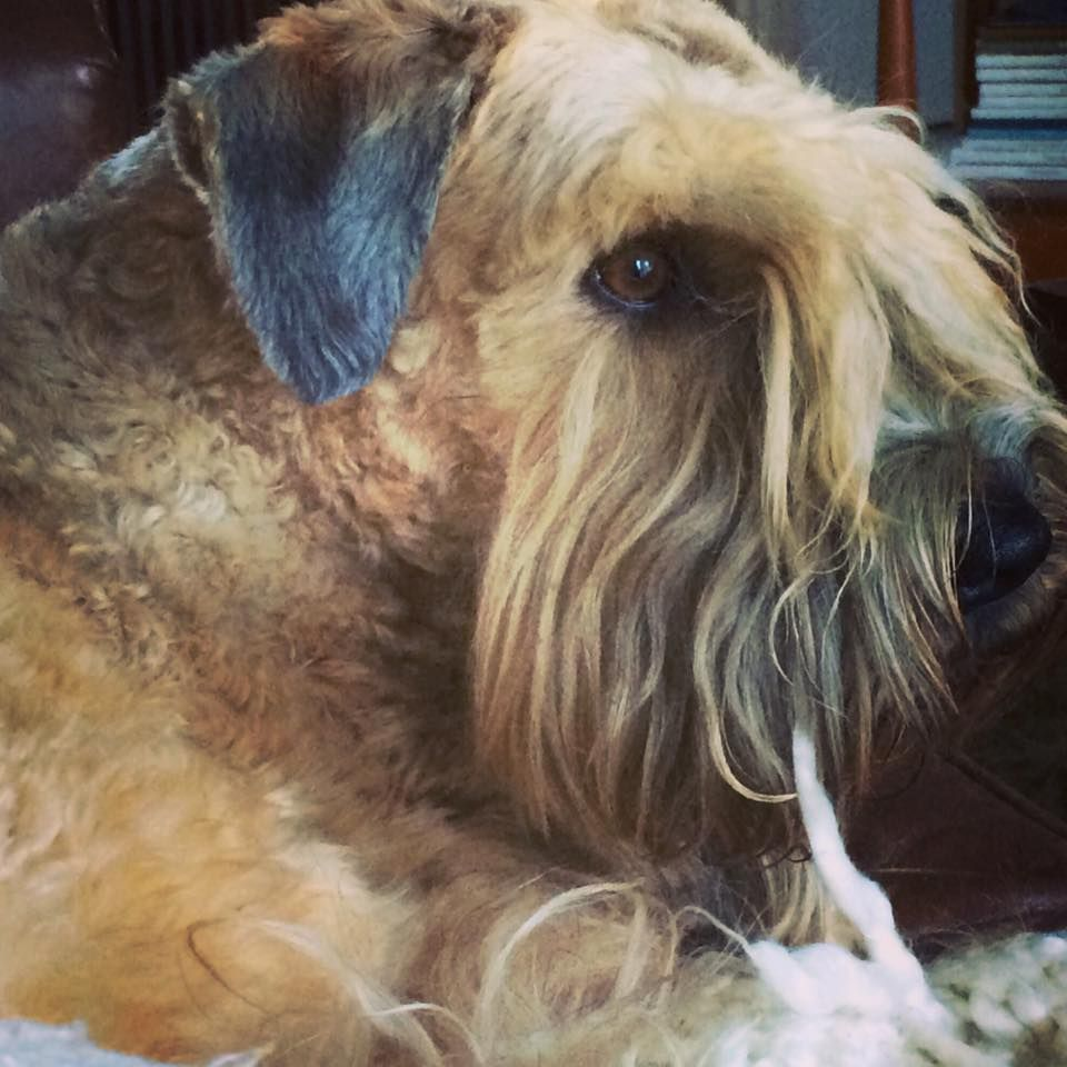 Wheaten Terrier With Images Wheaten Terrier Soft Coated Wheaten Terrier Wheaton Terrier