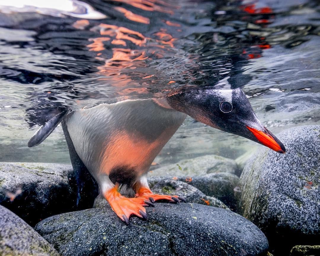 Photograph by @paulnicklen // Happy #worldoceansweek and #worldoceansday.  A Gentoo penguin cautiously peeks beneath the oceans surface in fear of leopard seals. As I reflect on my many years spent both on and in our great oceans of the world I look back with such gratitude but I also realize all of the work ahead.  When we stand on the shoreline and look out over the sea, we assume that all is well, however, when you lower your mask below the surface you see a very different story.  You…