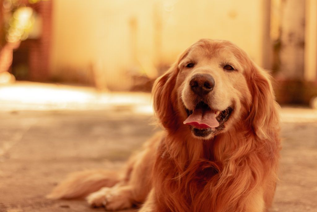 Protect Your Pets In Summer Heat Lucy Lou S Pet News Golden