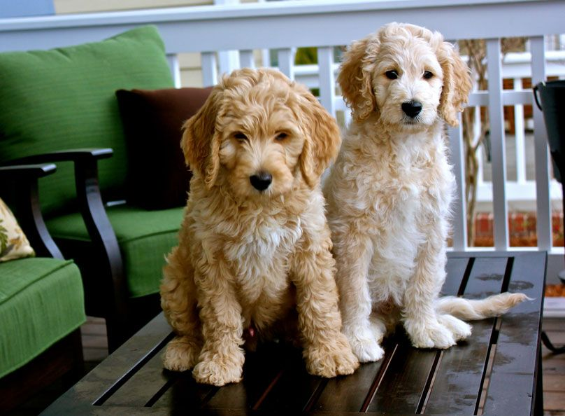 Carriage House Goldendoodle And Cockapoo Puppies In Virginia