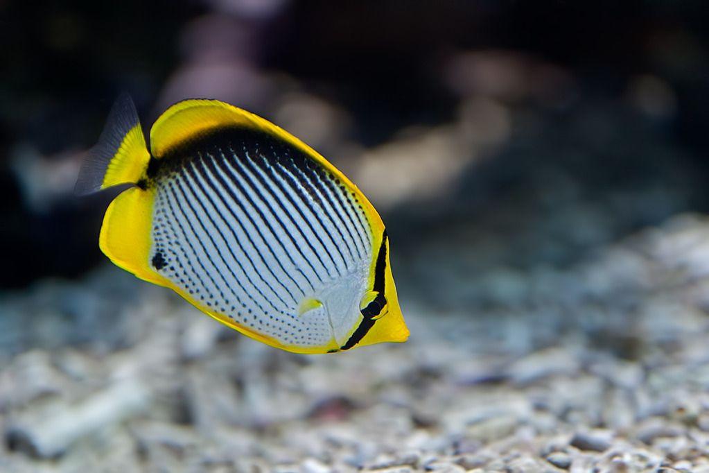 Saltwater Fish Of The Day Blackback Butterflyfish Aquarium Fish Fish Marine Fish