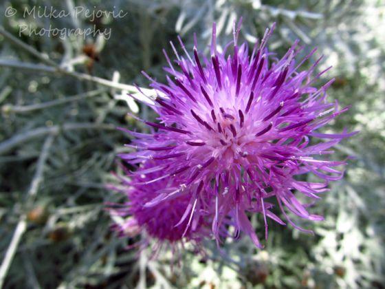 Puffy Purple Flowers