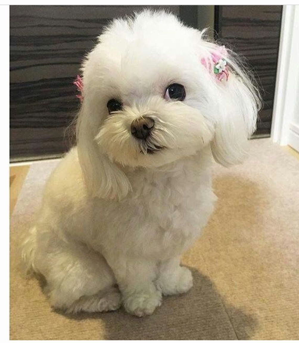 Adorable Maltese Maltese Puppy Maltese Dogs Cute Baby Animals