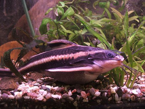 Striped Raphael Catfish Wikipedia The Free Encyclopedia Freshwater Catfish Aquarium Catfish Aquarium Fish