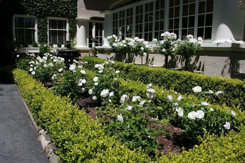 Boxwood and iceberg roses The Garden Pinterest Gardens White
