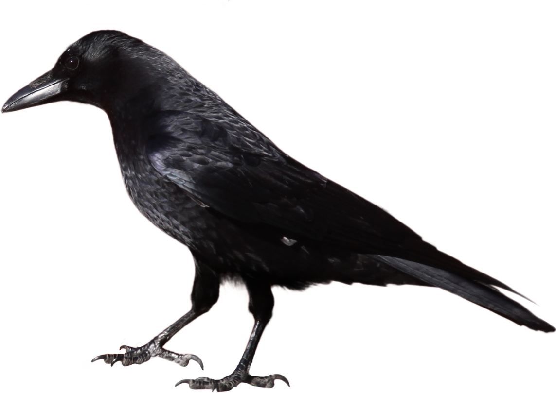 Crow Clipart 29514 Studiobin (With images) Black crow