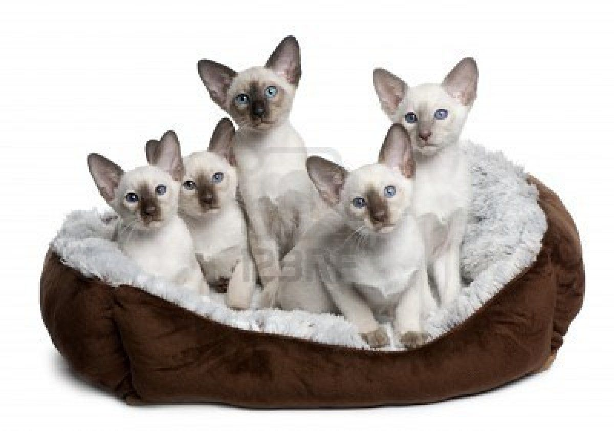 Bengal Kittens For Adoption In Florida