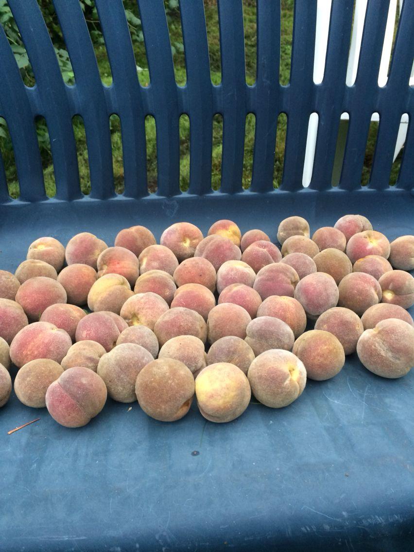 Erste Pfirsiche aus Norddeutschland! #peaches