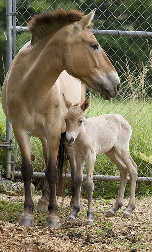 Przewalski s horses   whenever I see a horse with certain coloring     Przewalski s horses   whenever I see a horse with certain coloring and  markings I think of these