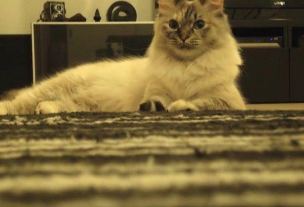 三味線の音色に合わせて歌う猫止まった音に目を丸くする http://bit.ly/1Ljc0Wf http://bit.ly/1UX8vWj by @GOLFNEKO