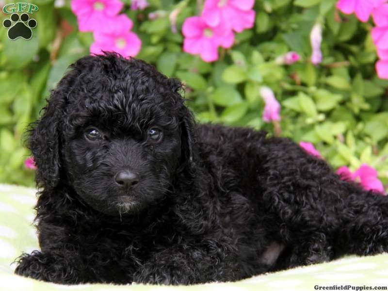 Luis Portuguese Water Dog Mix Puppy For Sale In Pennsylvania
