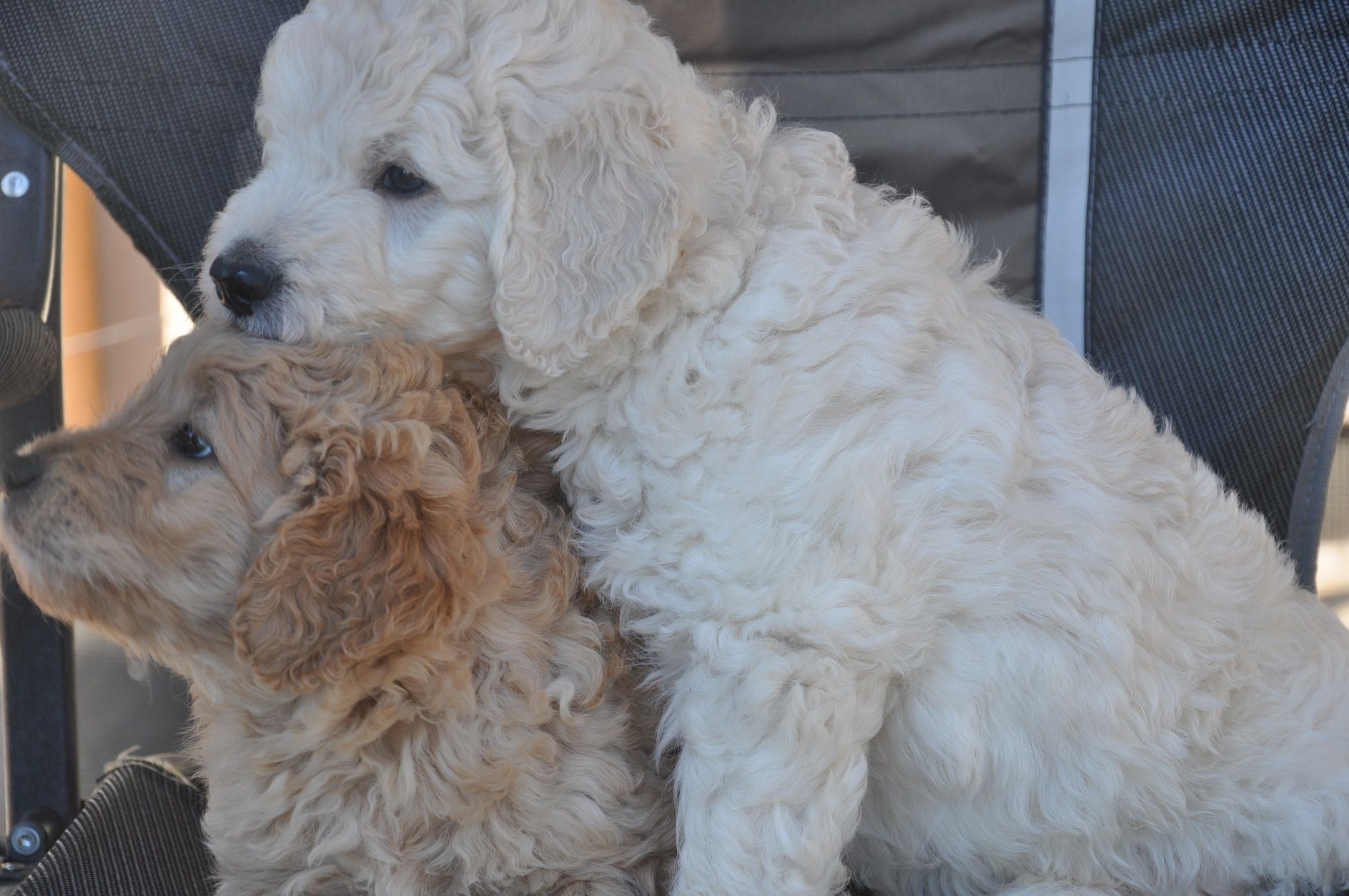 Brother and sister F1 Medium Sized Teddy Bear Goldendoodle