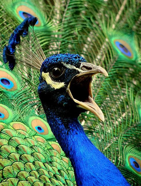 Screaming Peacock Peacock Pictures Peacock Animal Pictures