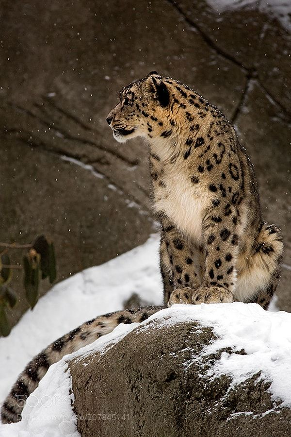 Snow and Snow Leopard by JHAtala