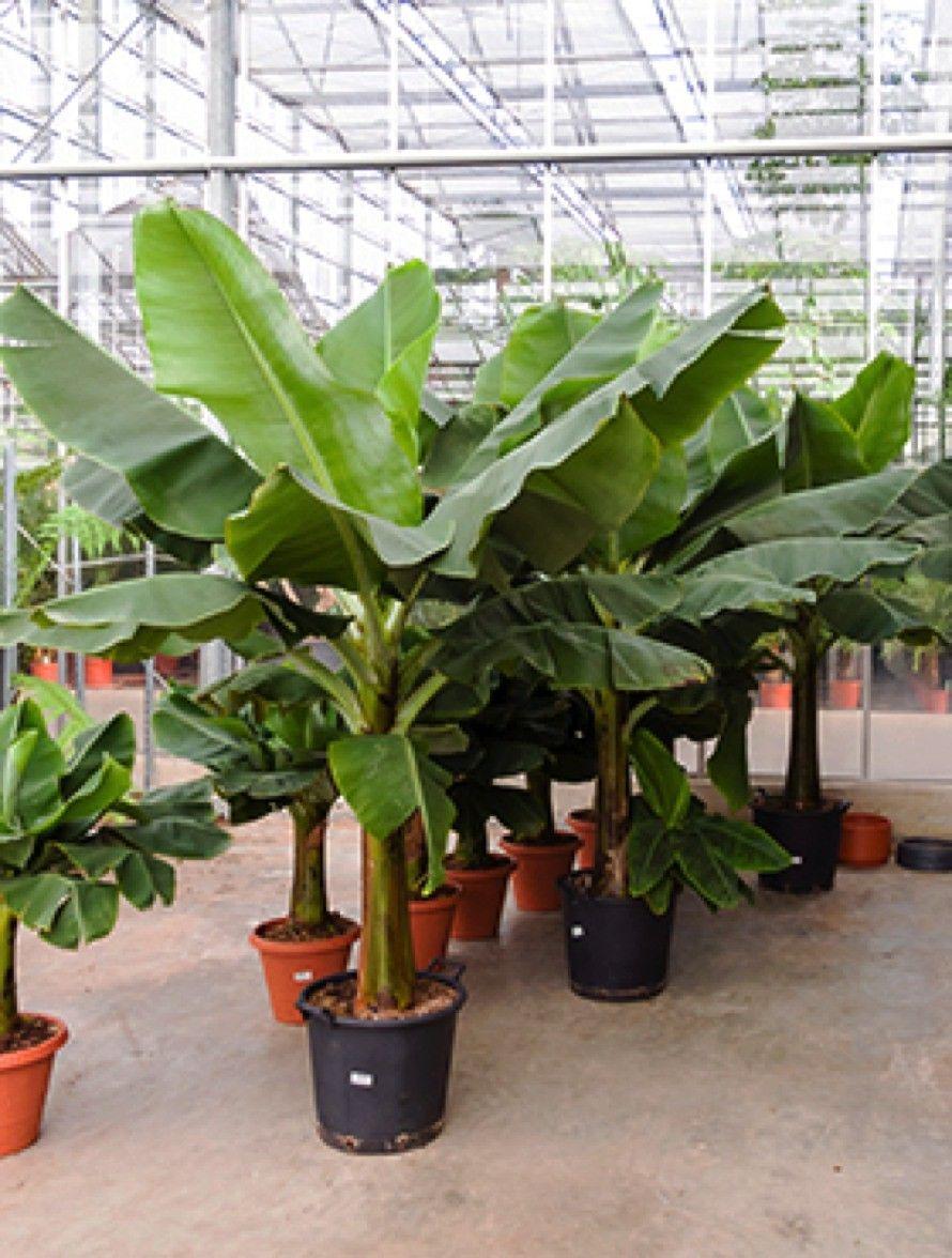 How to grow banana plants indoors and outdoor gardening plants