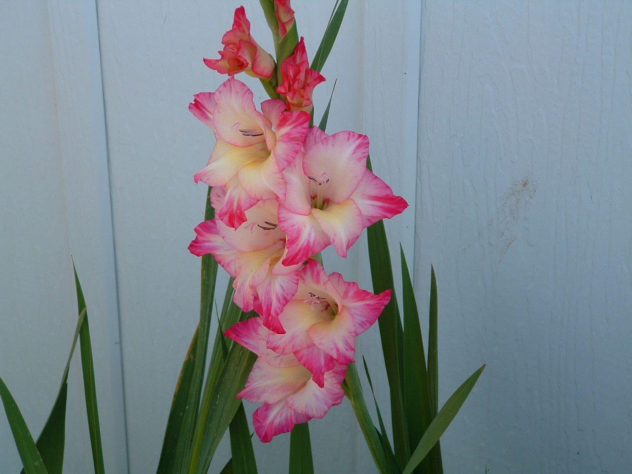 Gladiolus Thinking Something Like This For My Next Onejust