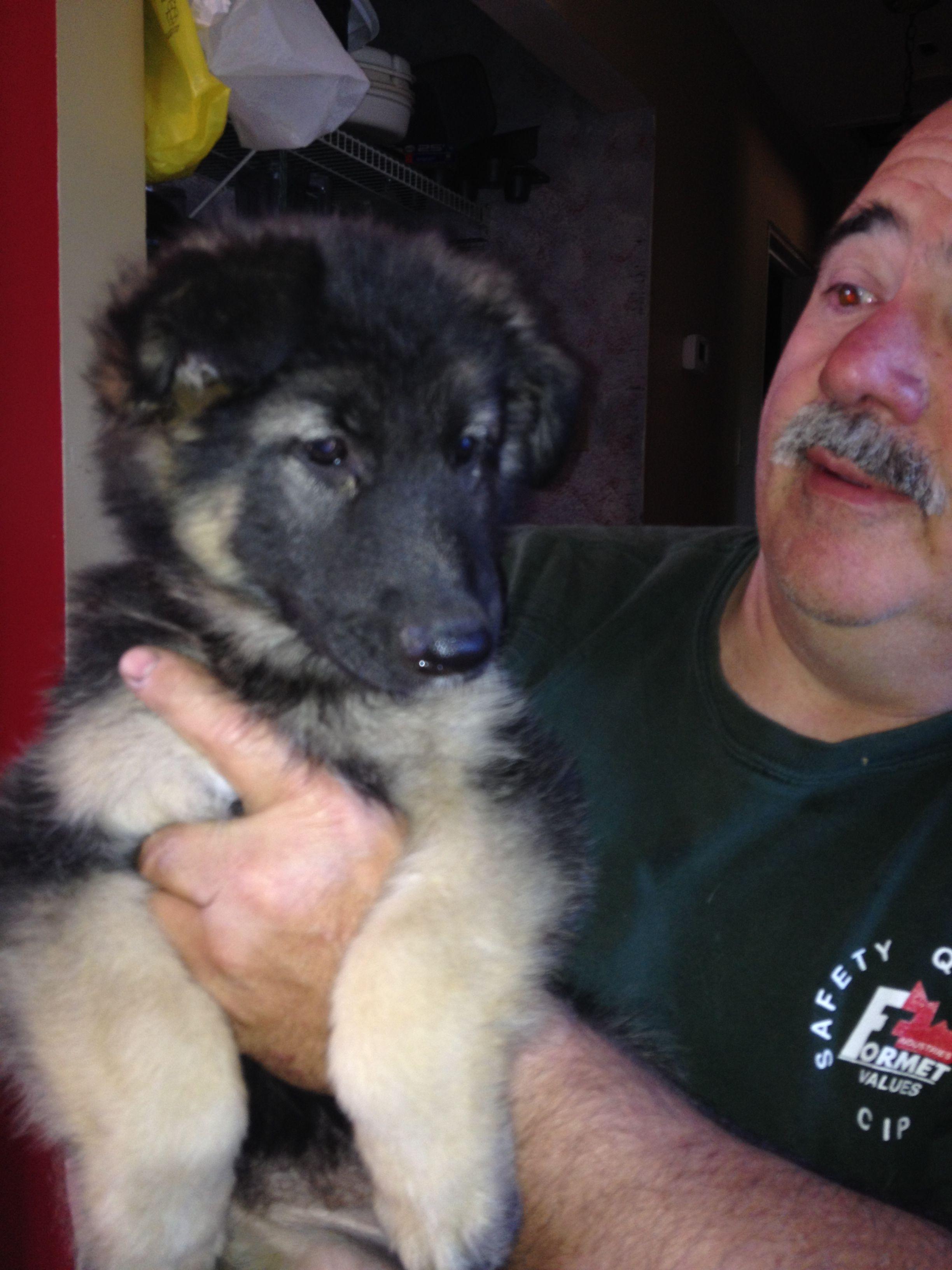 CKC Registered German Shepherd Puppy - Harly