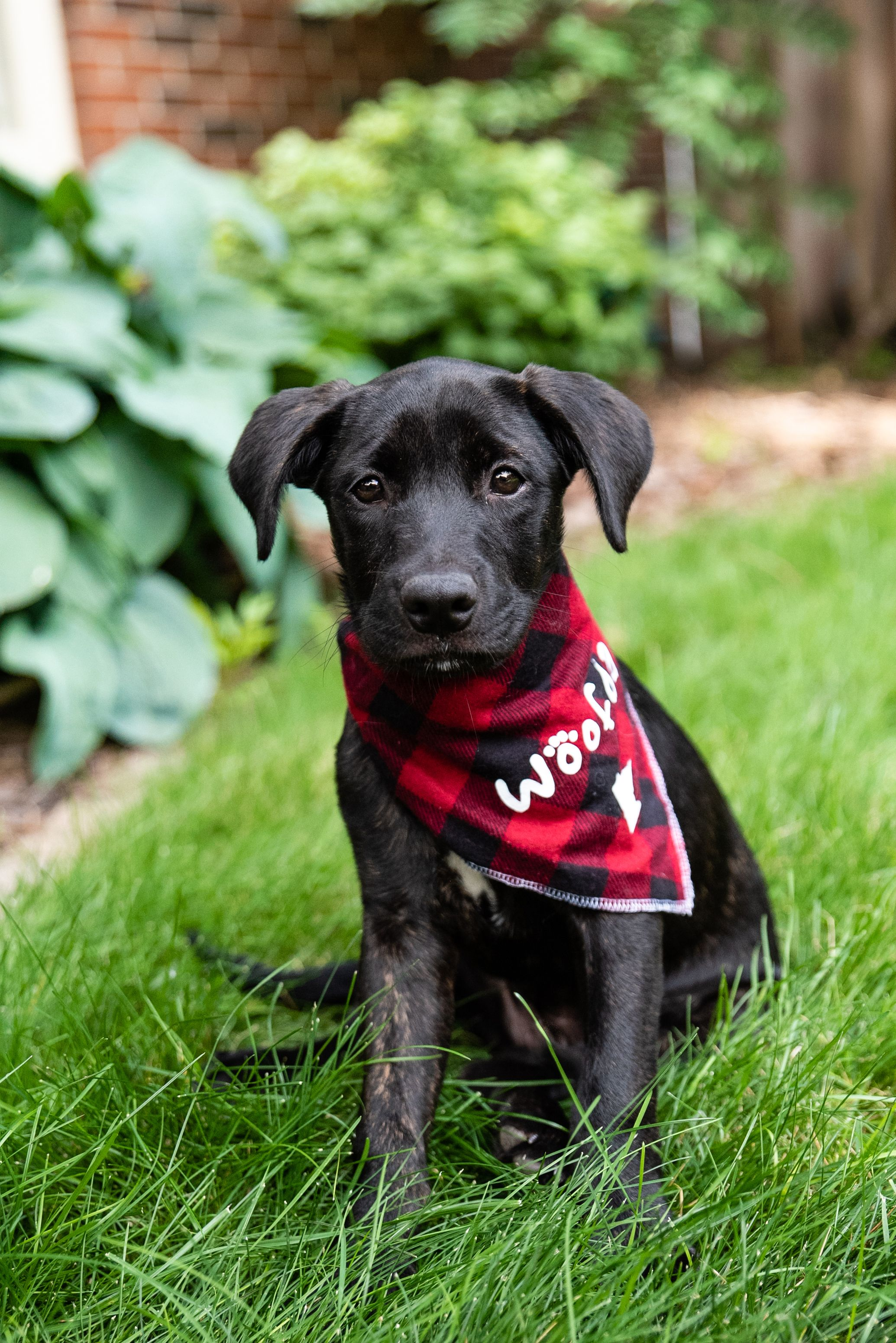Adopt Ash On Labrador Retriever Puppies Puppy Adoption Labrador Retriever Mix