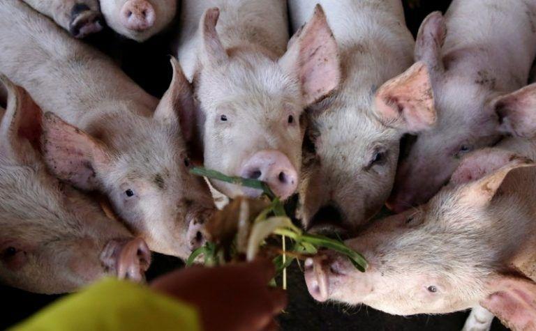 Can Pigs Eat Chicken Bones Sand Creek Farm Pig Pigs Eating Chicken Bones