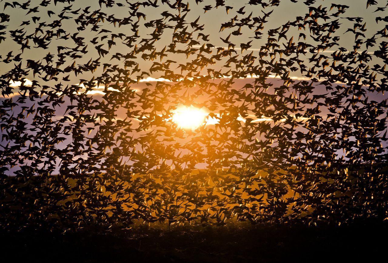Una gran bandada de estorninos mosca iluminados por el sol , cerca de Bacau, al noreste de Rumania