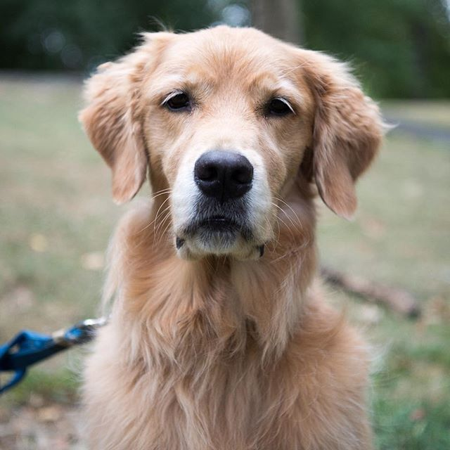 Buddy Golden Retriever 6 Y O Central Park New York Ny
