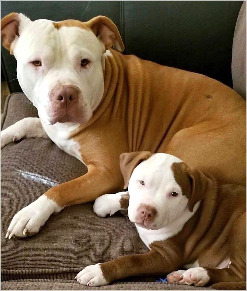Cute Pitbull Pup And Mama Do You Love Cute Dogs Like This