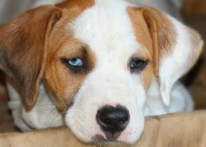 Adopt Ally On Brittany Spaniel Dogs Brittany Spaniel Husky Mix