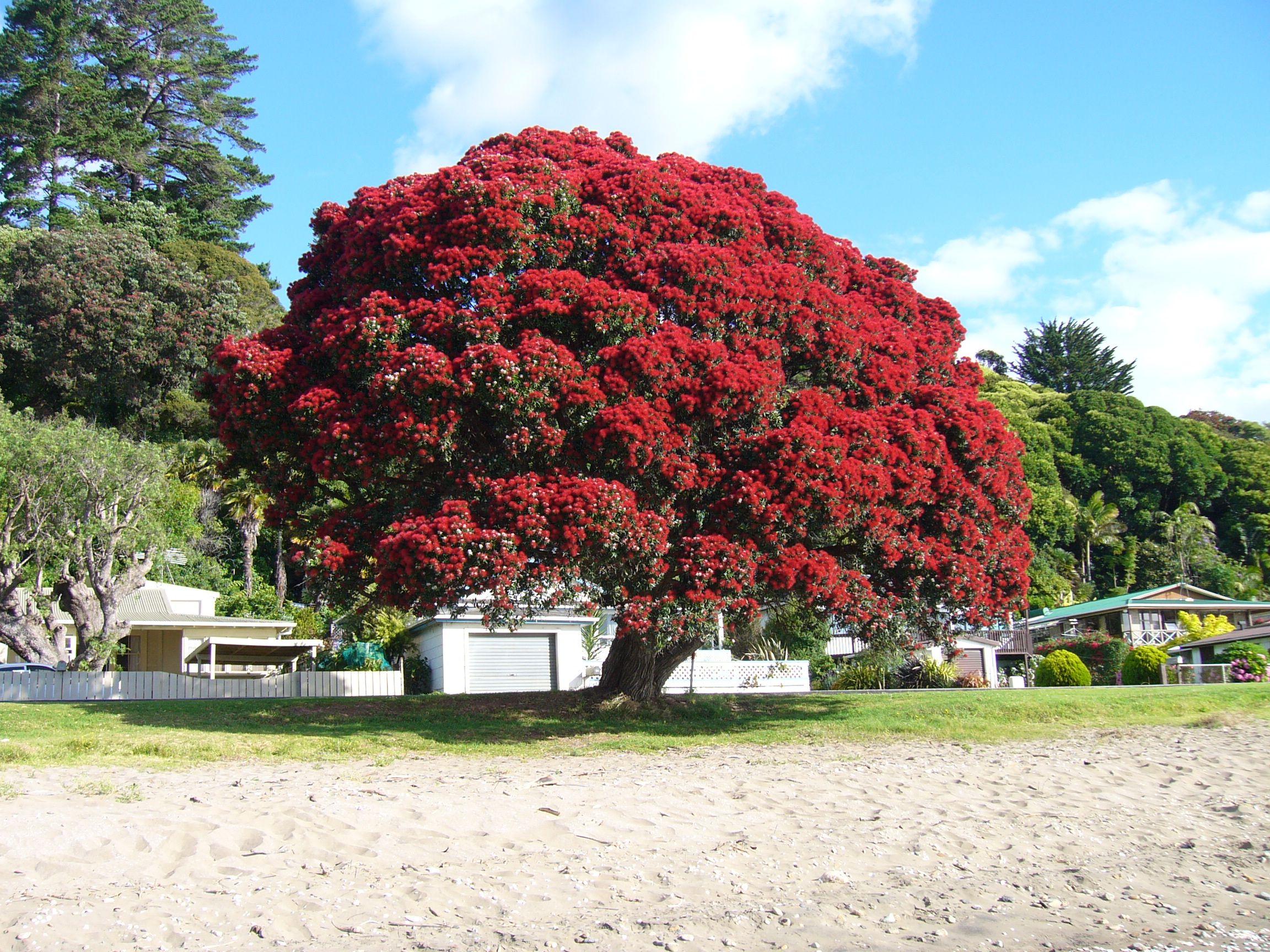 New Zealand S Christmas Tree The Polhutukawa I Wonder If New