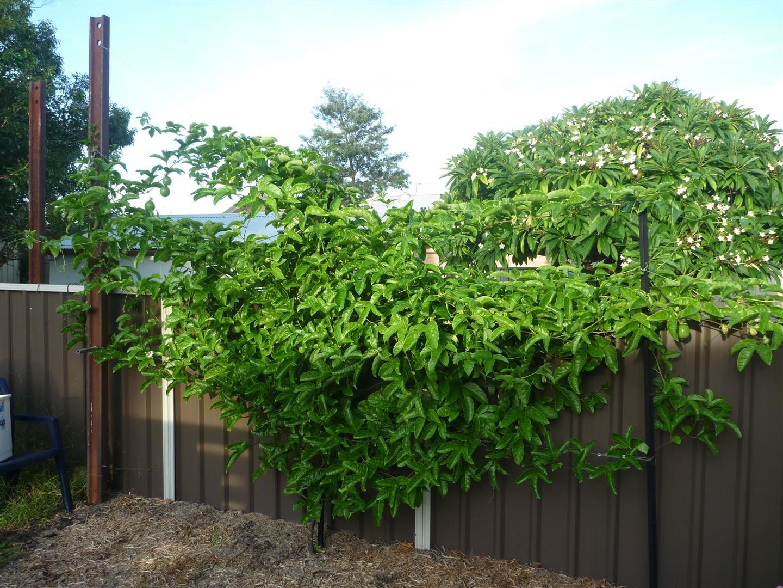 Passionfruit Black Vine Passiflora Edulis Garden 640 x 480