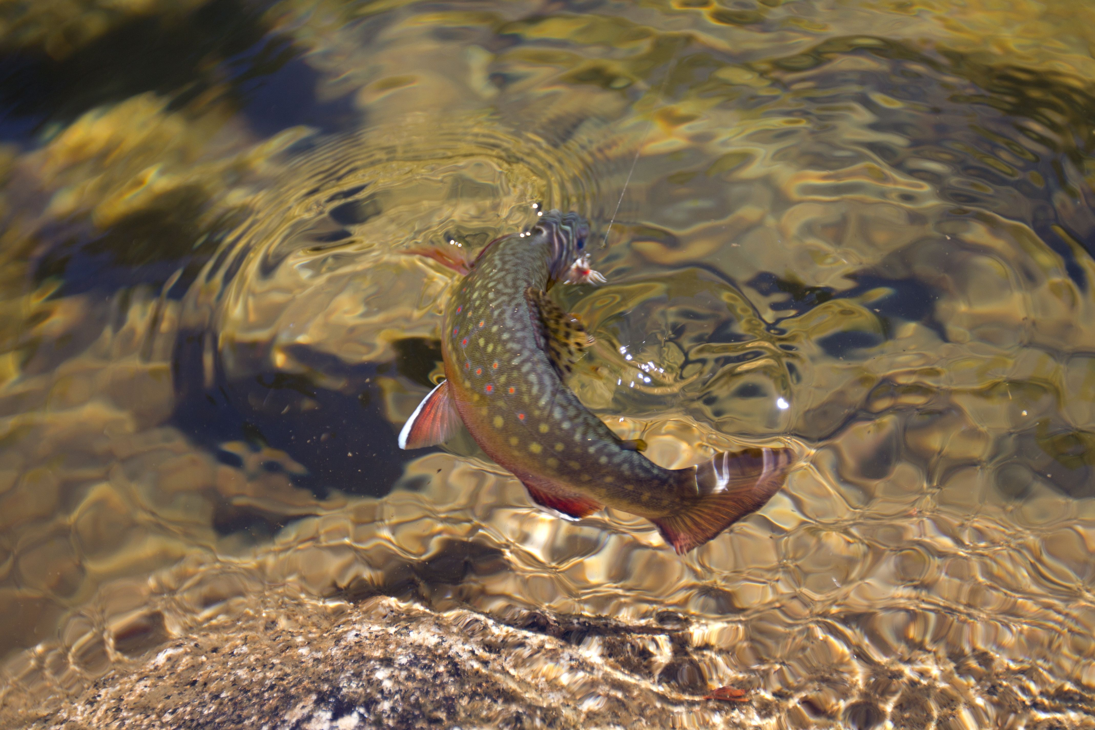 Trout rising fisher woman pinterest trout fly for Rising fly fishing