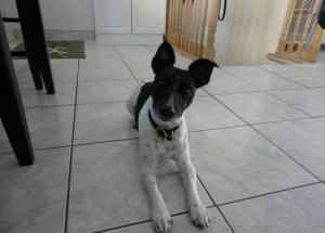Hi everybody! My name is Jasper and I am an energetic and fun-loving Jack looking for a new home (and squirrels!).