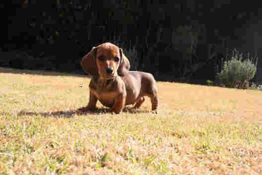 Little Sausage Dog I Love Sausage Dogs Dachshund Puppies