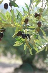 anleitung zum olivenbaum schneiden wann ist der beste zeitpunkt garten pinterest. Black Bedroom Furniture Sets. Home Design Ideas