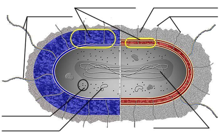 Printables Cells Alive Worksheet Answers cells alive worksheet davezan