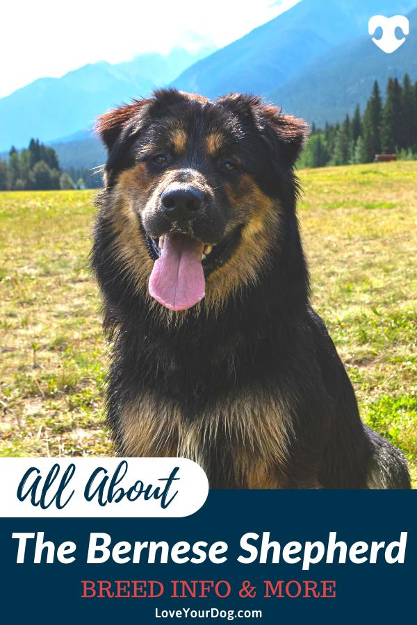 Bernese Mountain Dog German Shepherd Mix Breed Info Facts More In 2020 Bernese Mountain Dog Dogs Mountain Dogs