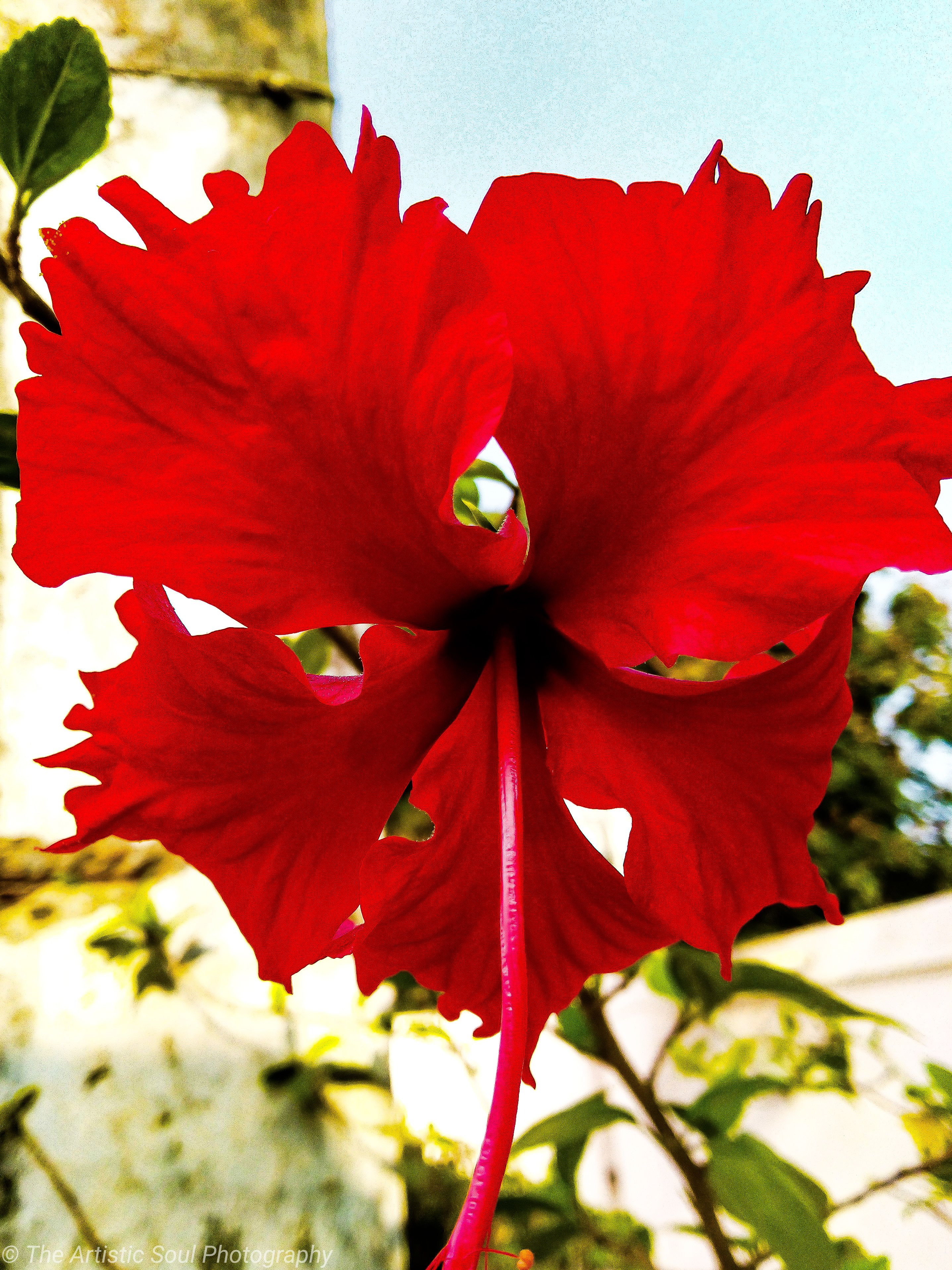 A Beautiful Red Hibiscus Flower Photography Inspiration Profilepicture Beachpicture Pictureideas Wallpa In 2020 Flowers Beautiful Flowers Garden Hibiscus Flowers