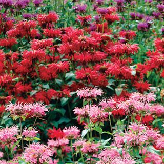 Bee Balm Mix fs ps