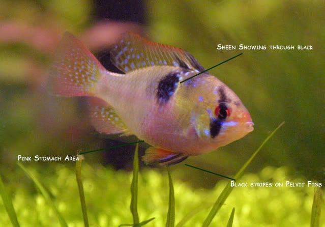 Female German Blue Ram Breeds Cichlids Fish Pet