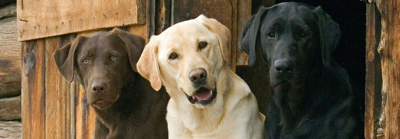 Labs 2 Love Inc A Northern California Labrador Rescue Labrador Retriever Dogs Labrador
