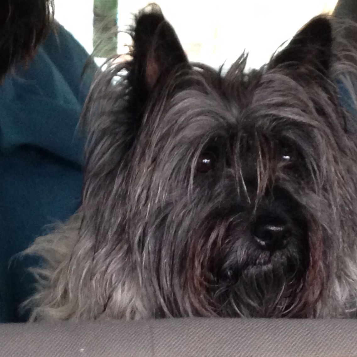 Webber The Wonder Cairn Puppy Love Cairn Terrier Norwich