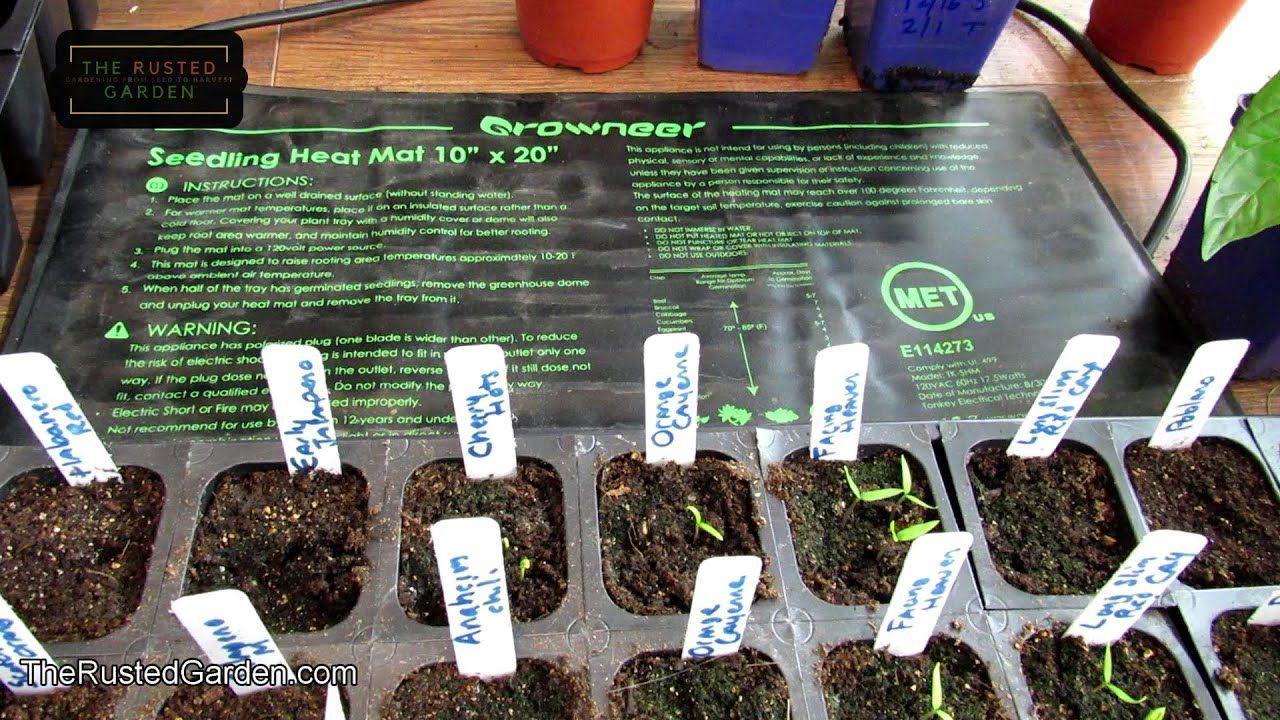 How To Stop Damping Off Dealing With The Mold And Fungus On Seedlings Seedlings Plants Starting Seeds Indoors