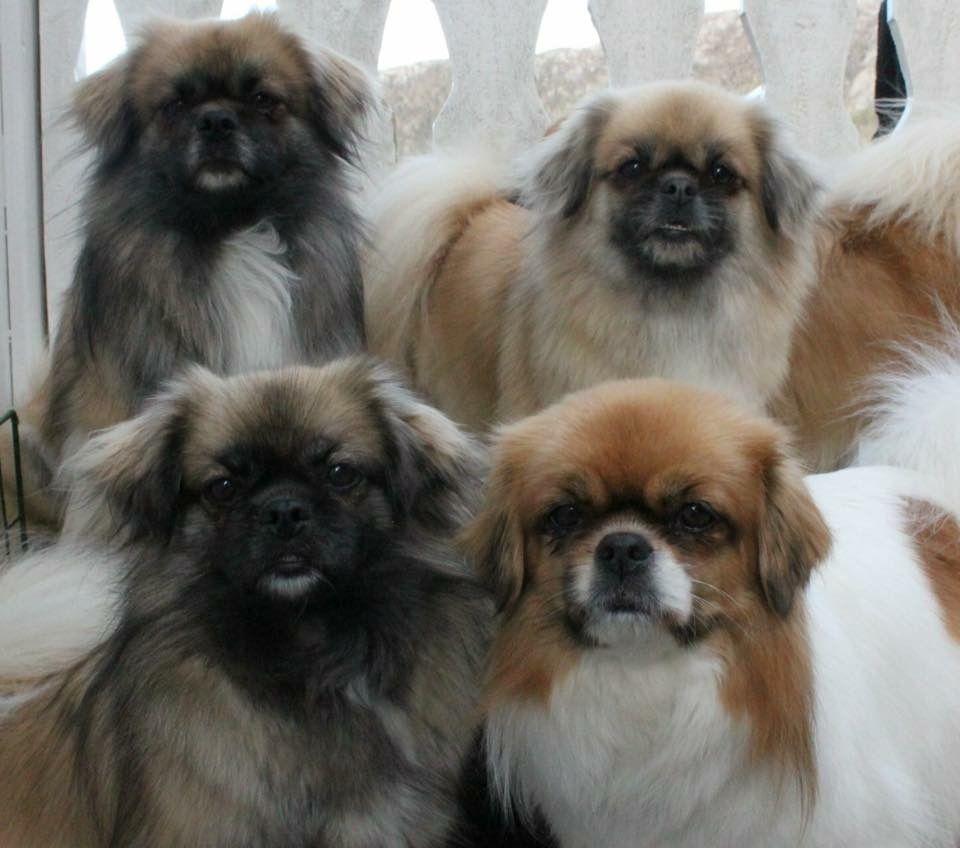 Pin By Trudy Knudsen On Tibetan Spaniels Pekingese Dogs Pekingese Tibetan Spaniel