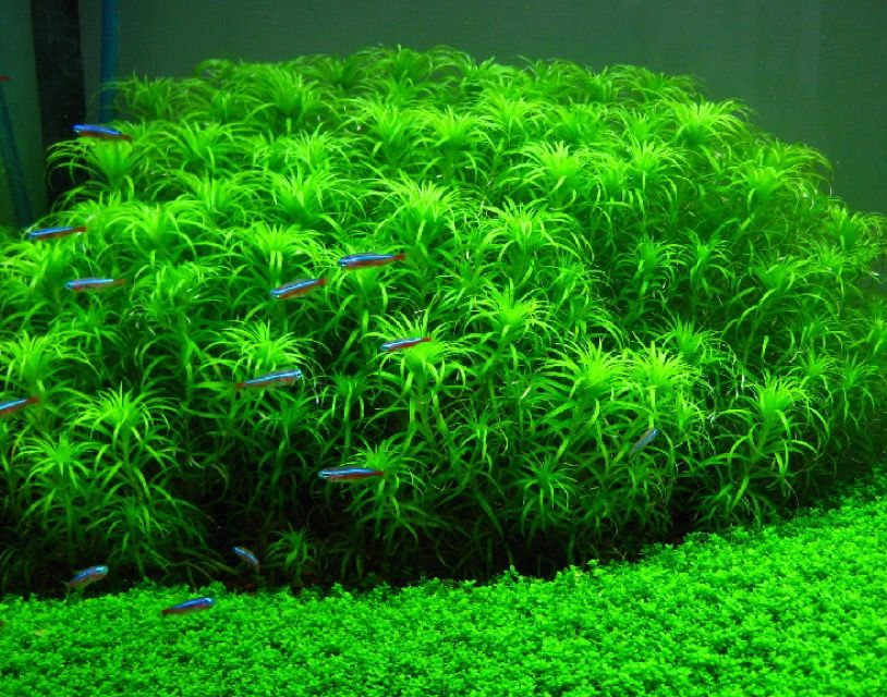 Syngonanthus sp belem star plant aquascape for Freshwater pond plants