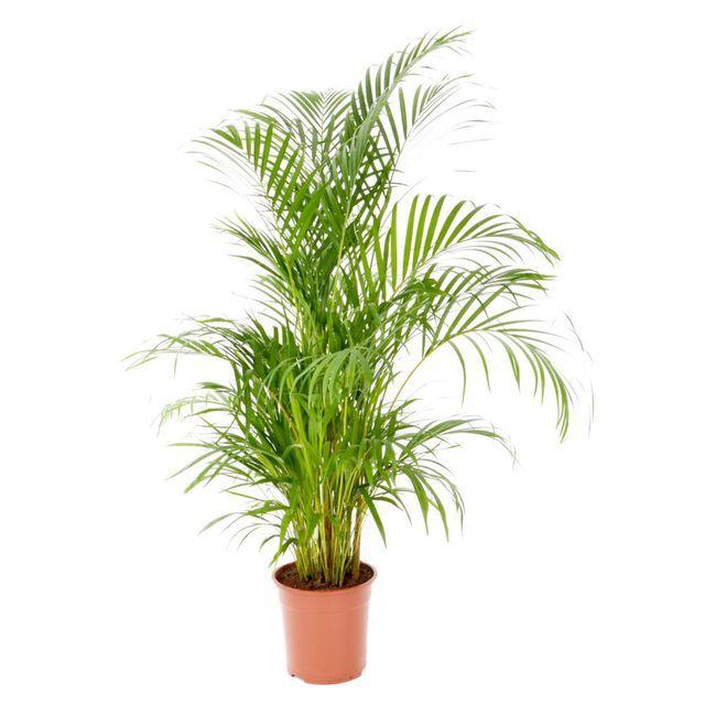 Areka 90 Cm Plants 90 S The 100