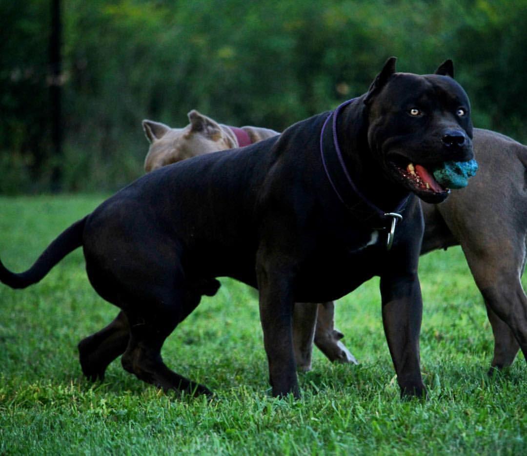 Pin By Wonderland On Dogs All Black Pitbull Black