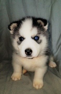 Siberian Husky Puppy For Sale In Battle Creek Mi Adn 42920 On