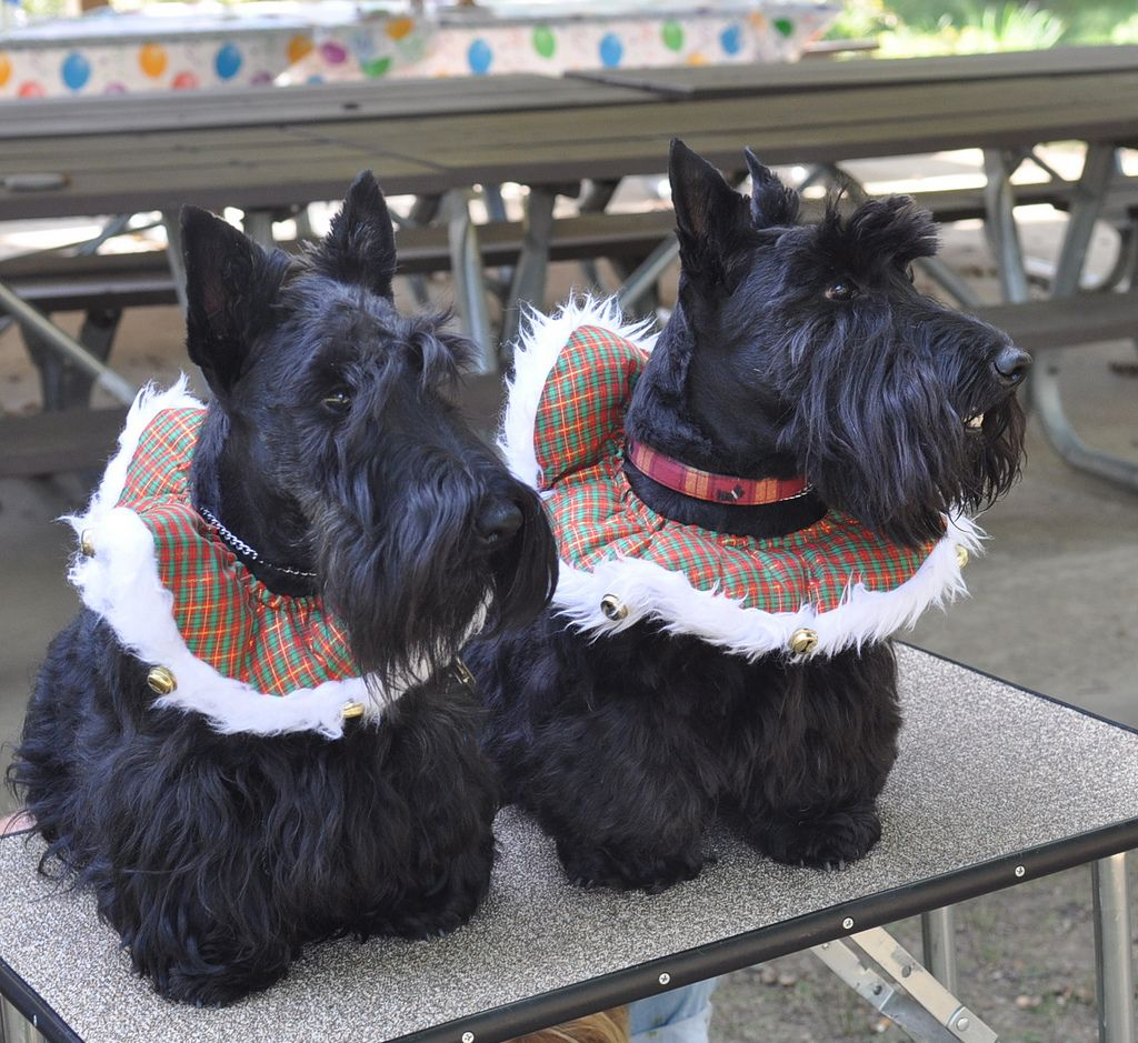 Christmas Piper L And Sadie R Scottie Dog Scottish Terrier